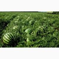 Продам арбузы с поля