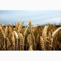 Семена озимой пшеницы Миссия Одесская, урожайность 115-120 ц/га