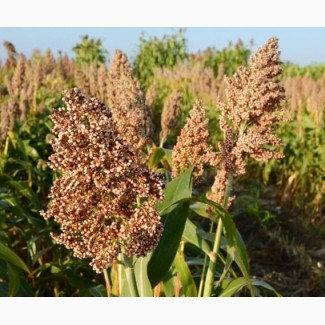 Семена зернового сорго Майло В, Milo W, 100-115 суток