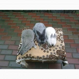 Кролі породи Каліфорнія.Радянська шиншила.Полтавське срібло