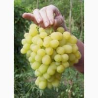 Продам виноград столовых сортов оптом 10грн-1кг