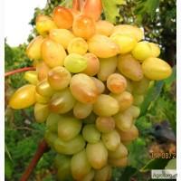Саженцы винограда Памяти Смольникова и еще 100 десертных и кишмишных сортов