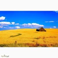 Предприятие оптом закупает пшеницу