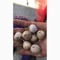 Продам однозубку чеснока, сорт Любаша, Софиевский. Однозубка + Технология выращивания