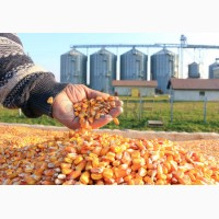 По Украине куплю кукурузу с поля, склада