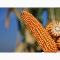 Купить семена кукурузы Сильвинио