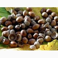 Семена дуба белого ( quercus alba )