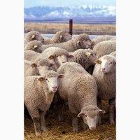 Куплю вівці