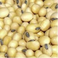 Продаю семена сои оптом, сорт Аполло, Житомир
