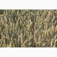 Озима пшениця Банкір