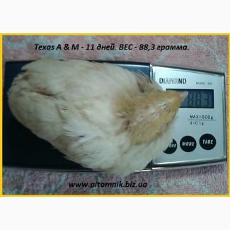 Яйца индопелка инкубационные