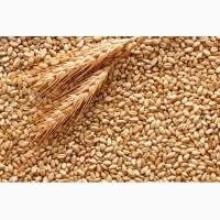 Куплю фуражную пшеницу 6-й класс от 30 тонн и больше самовывоз