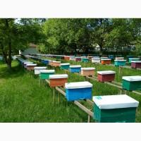 Продам бджоломатки карпатки приймаю замовлення 2019