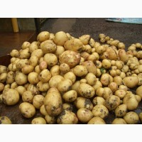 Срочно куплю торговый картофель в Запорожье, Санте, Белла или Ревьера 20-ть тонн