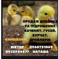 Молодняк птиці