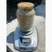 Продам Пшеницу от 1 тонны