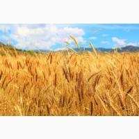 Покупаем оптом Пшеницу.Возможно самовывоз, Кременчуг
