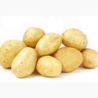 Картопля насіннєва DIDO/ Картофель семенной Дайдо, 1 кг