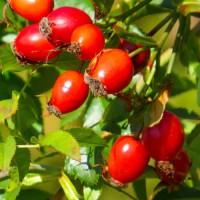 Закуповуємо свіжу ягоду шипшини. Вся Україна