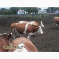 Продам коров, нетель породы симментал. 130 голов. 1-5 лактация