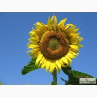 Продам насіння соняшнику Бонд від оригінатора і виробника