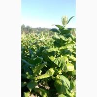 Продам семена табака, махорки