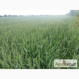 Продам насіння пшениці Бамберка (Польща).Дворучка