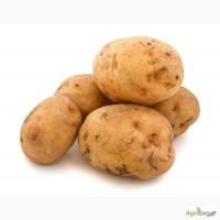 Продам картоплю оптом (Латона, сільвано, Ред Леді, Романо) за хорошими цінами