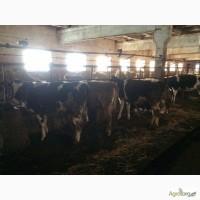 Крс, врх в Украине крупный рогатый скот, велика рогата худоба, бички, бычки