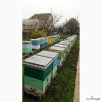 Продам пчело семьи Карпатка