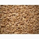 Купуєм жито