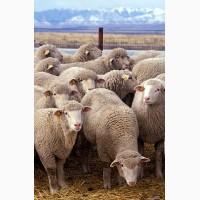 Продаж ВРХ вівці баранина