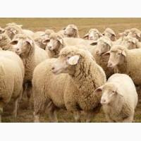Куплю овец баранов ягнят на мясо