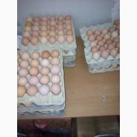 Инкубационное яйцо доминант красный полосатый, черный крапчатый