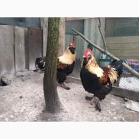 Подрощенные цыплята фавероль
