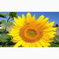 Насіння соняшнику гібрид NS SUMO 2017