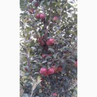 Продам яблука різних сортів у різній кількості по ціні від 2, 5 грн до 5 грн