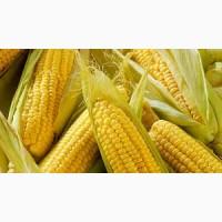 Підприємство закуповує кукурудзу на договірних умовах