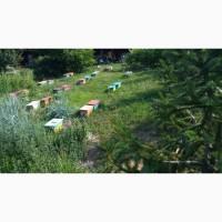 Бджоломатки Карніка F-1 Плідні