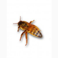 Бджоломатка