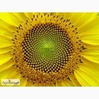 Сонячний настрий (гранстароустойчивые) гибрид подсолнечника