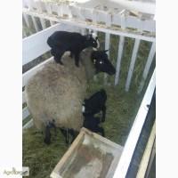 Куплю овец Романовской породы, оптом, только чистые