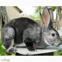 Кролики Рекс (шиншила, кастор)