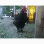Домашние инкубационные яйца мясо-яичных курей