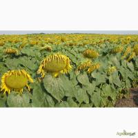 Семена подсолнечника гибрид ЛОГОС (F1) от производителя