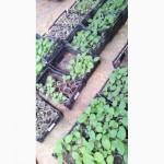 Рассада табака, отходы, стебли