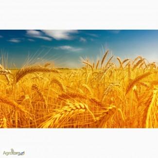 Куплю пшеницу, ячмень, овес, рожь, кукурузу, просо, горчицу, подсолнечник по Луганской обл