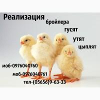 Суточные бройлерные цыплята РОСС-308/КОББ-500 оптом и в розницу, возможна доставка