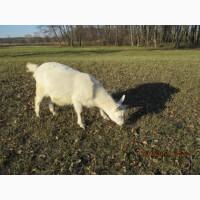 Продам молодых коз