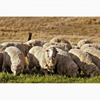 Продаж ягнятина баранина вівці